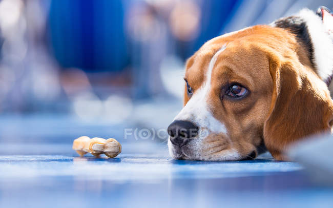 Sad looking beagle Dog — Stock Photo