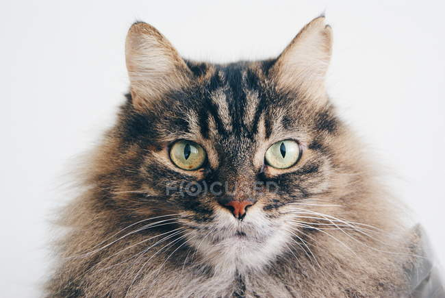 Portrait of tabby cat — Stock Photo