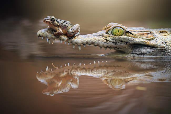 Frog sitting on caiman rocodile — Stock Photo