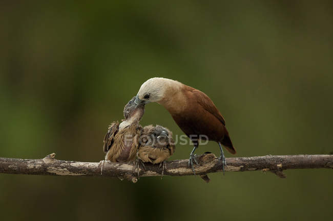 Mère oiseau nourrit s'accrochant — Photo de stock