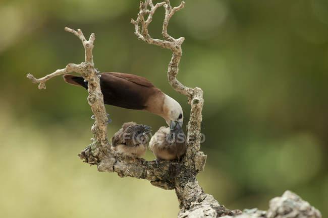 Oiseau de mère nourrit son accrochés — Photo de stock