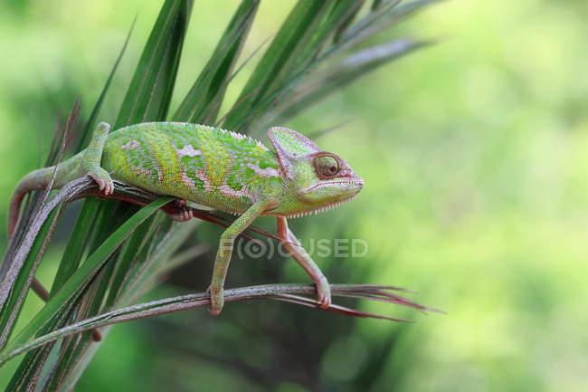 Chameleon climbing on a leaf — Stock Photo
