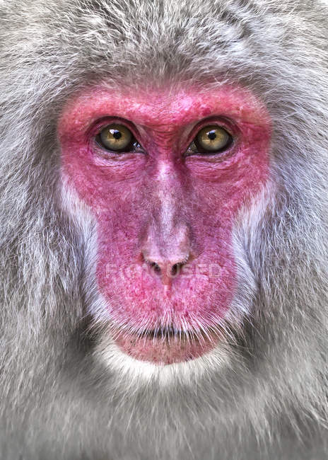 Portrait of Japanese macaque — Stock Photo