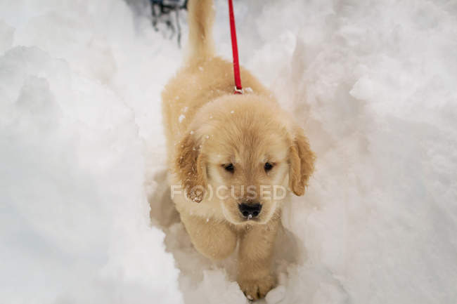 Golden retriever, marcher dans la neige — Photo de stock