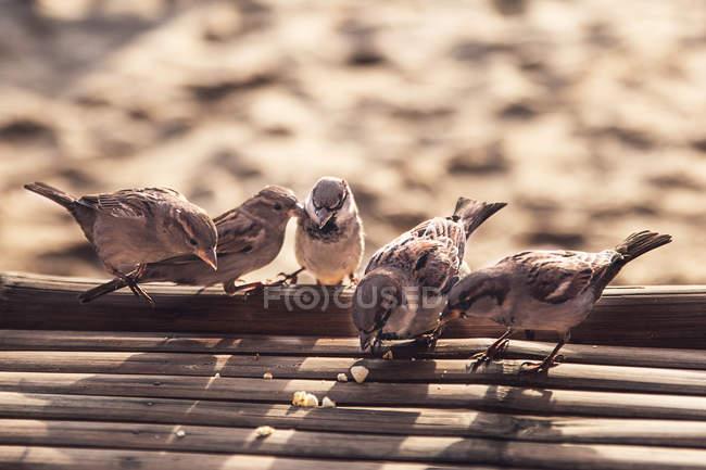 Uccelli dello Sparrow alimentazione sulla spiaggia — Foto stock
