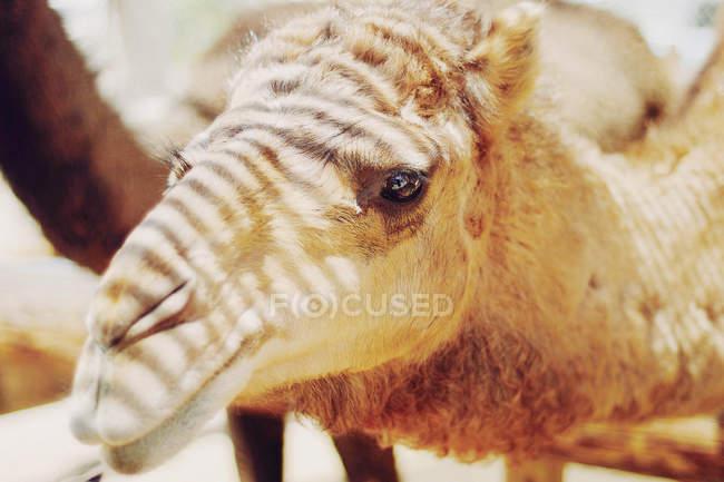 Cabeça de camelo com fluxos de luz solar — Fotografia de Stock