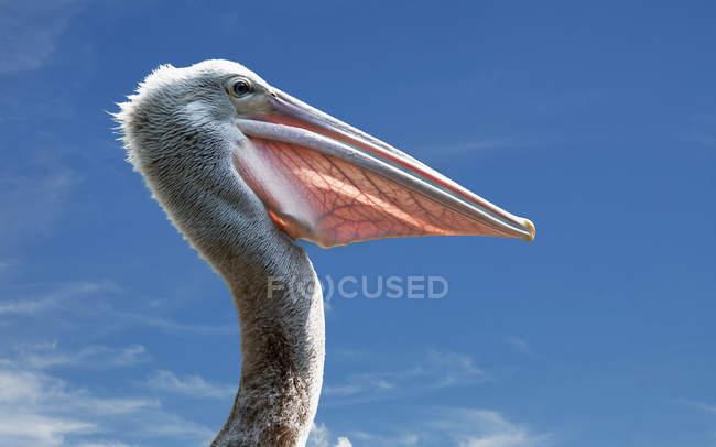 Profile portrait of pelican — Stock Photo