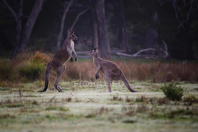 Kangourous debout face à face — Photo de stock