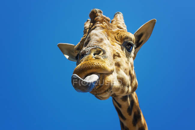 Girafe lécher les lèvres — Photo de stock