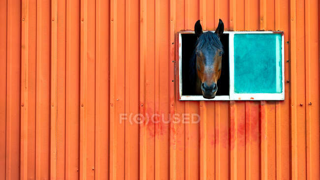 Pferd ragt Kopf aus Fenster — Stockfoto