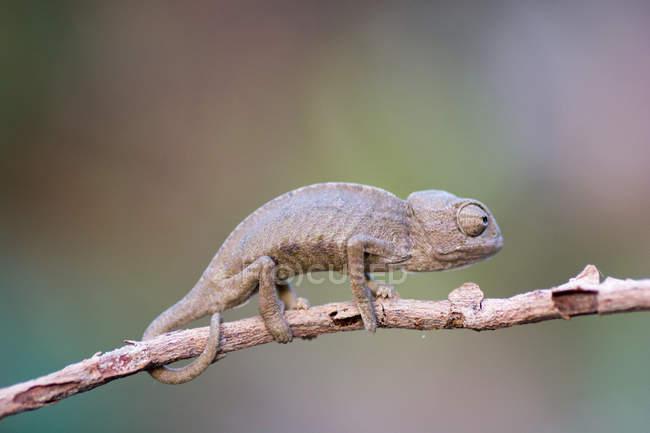 Camaleón en rama de árbol - foto de stock