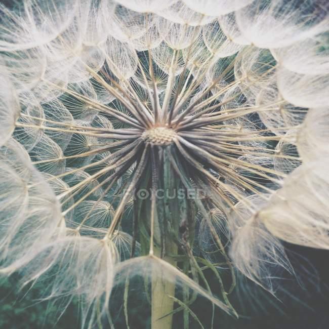 Одуванчик головы цветок на стебле — стоковое фото