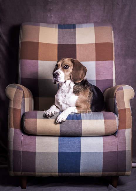 Dog lying in armchair — Stock Photo
