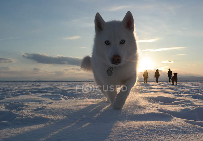 Husky dog running towards camera — Stock Photo