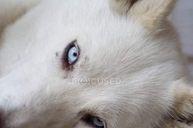 Husky lying down — Stock Photo