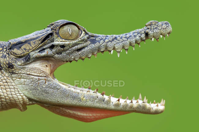 Open mouthed crocodile — Stock Photo
