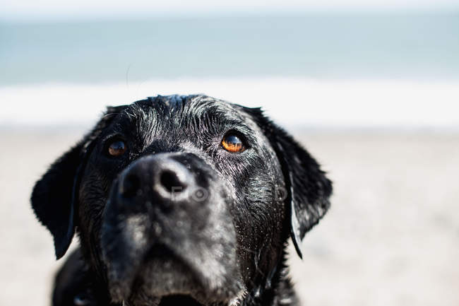 Labrador noir sur la plage — Photo de stock