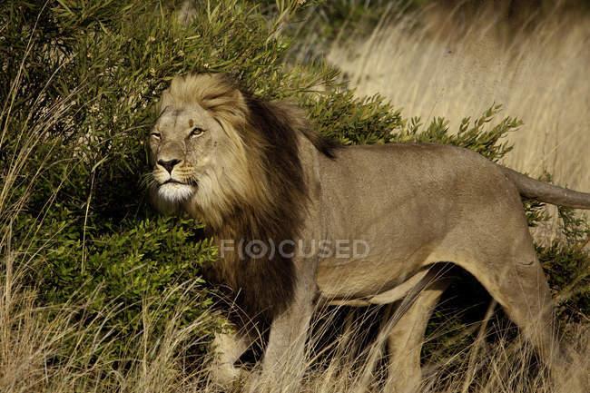 Мужской Лев маркировки своей территории — стоковое фото