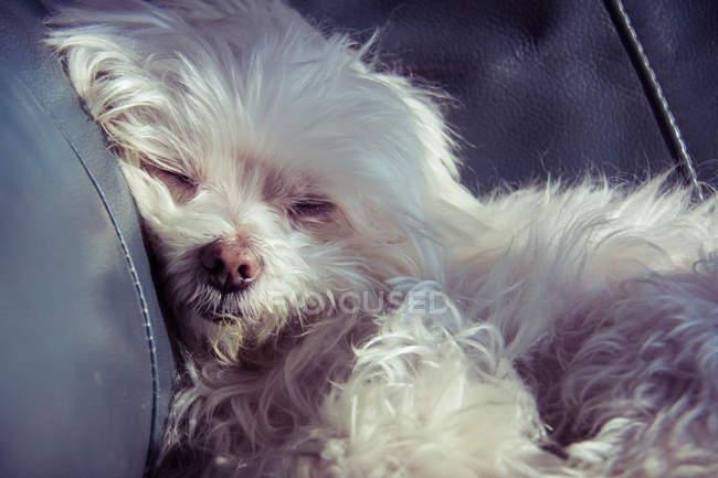 Perro cachorro Maltés blanco - foto de stock