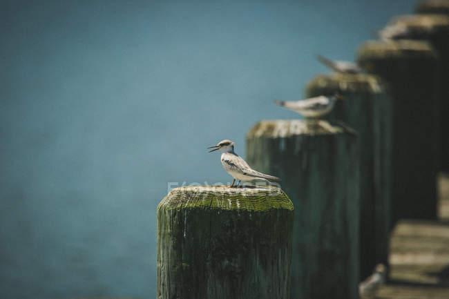 Uccelli appollaiati sui pilastri in legno — Foto stock