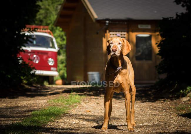 Cane ungherese vizsla — Foto stock