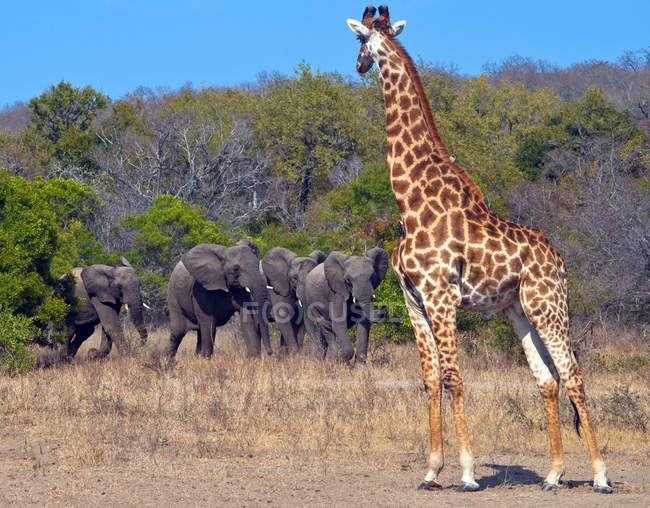 Giraffe und Elefantenherde — Stockfoto