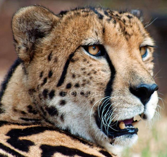 Retrato joven africoamericano del leopardo, enmascaramiento - foto de stock