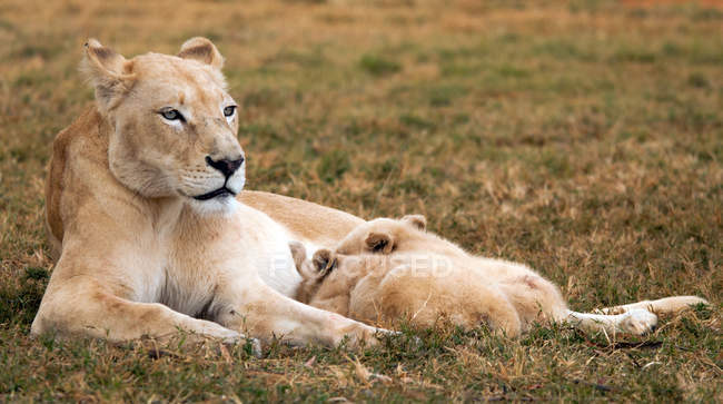 Lioness feeding cubs — Stock Photo
