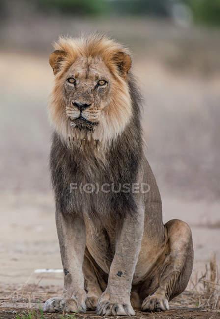 Portrait of a black mane lion — Stock Photo