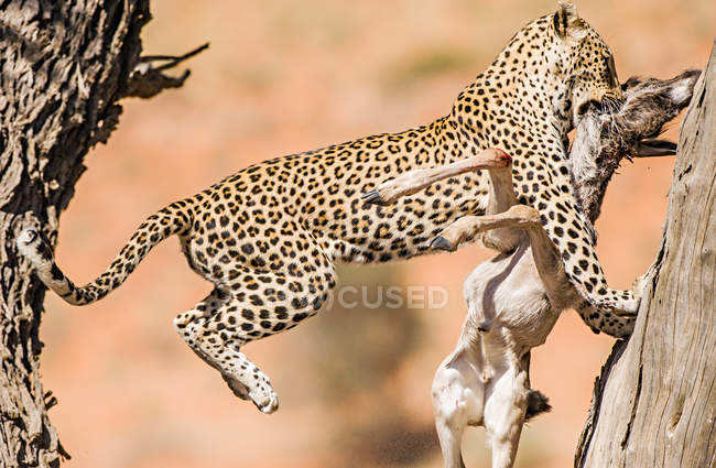 Leopardo con mollusco morto — Foto stock
