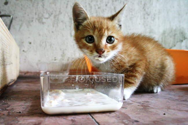 Ginger kitten eating milk — Stock Photo