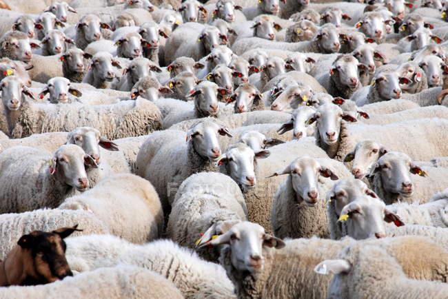 Grande rebanho de ovelhas — Fotografia de Stock