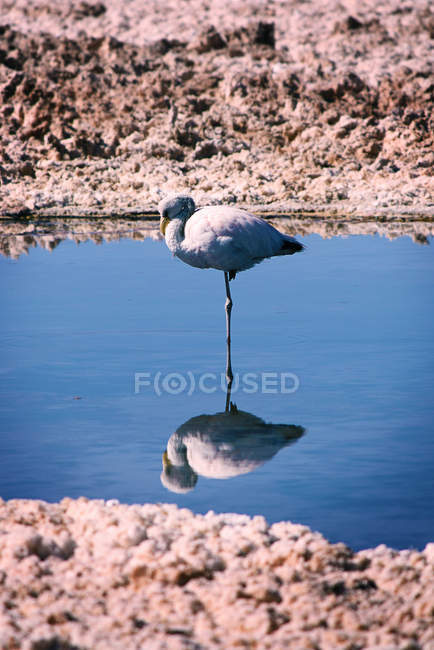 Flamant rose debout sur une jambe dans l'eau — Photo de stock