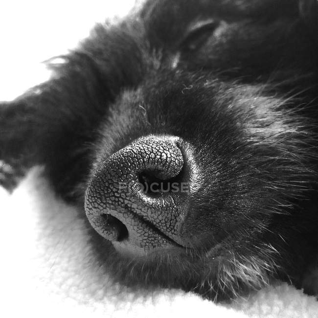 Close-up of nose of sleeping puppy — Stock Photo