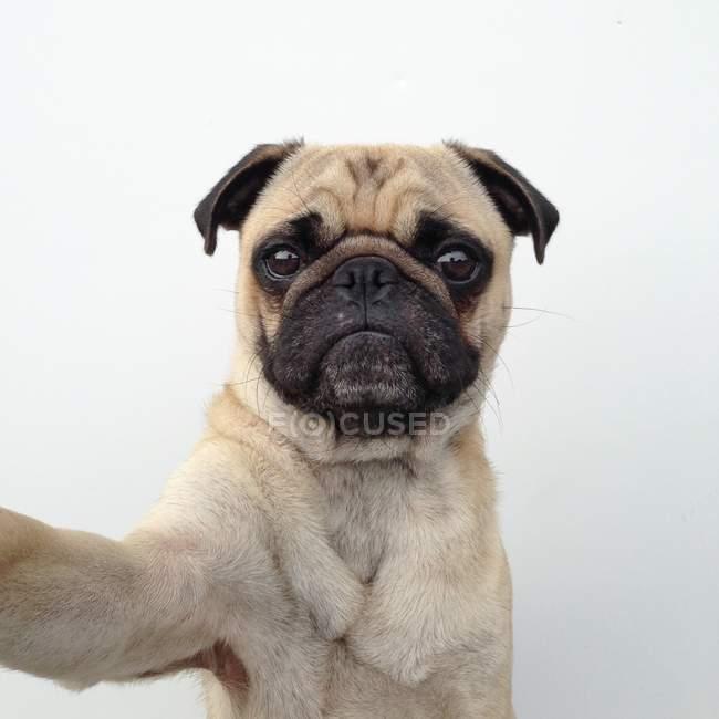 Автопортрет мопса — стоковое фото