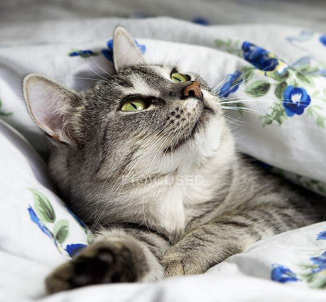 Grey cat lying in bed — Stock Photo
