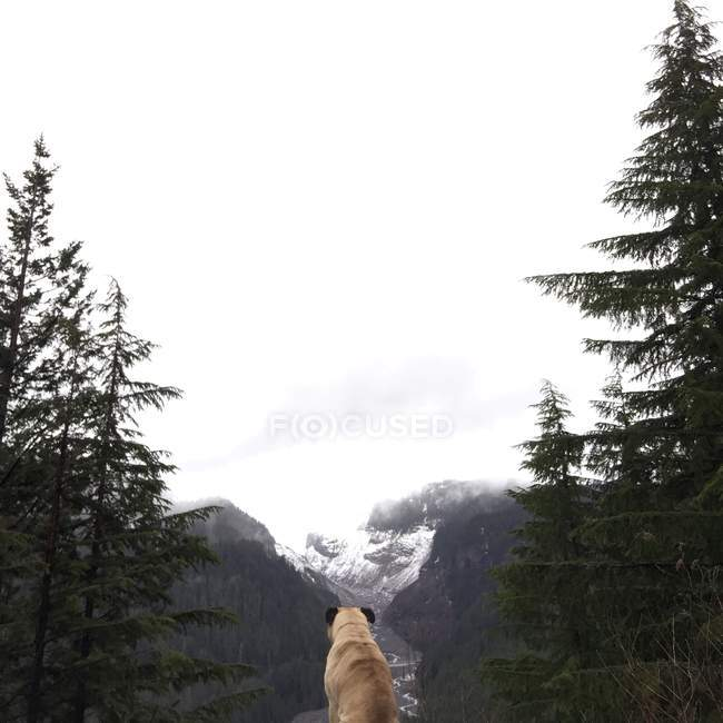Pug dog looking at mountains — Stock Photo