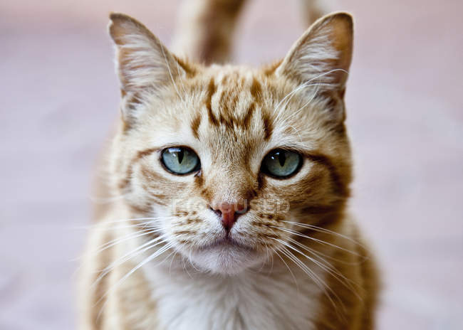 Portrait of ginger cat — Stock Photo