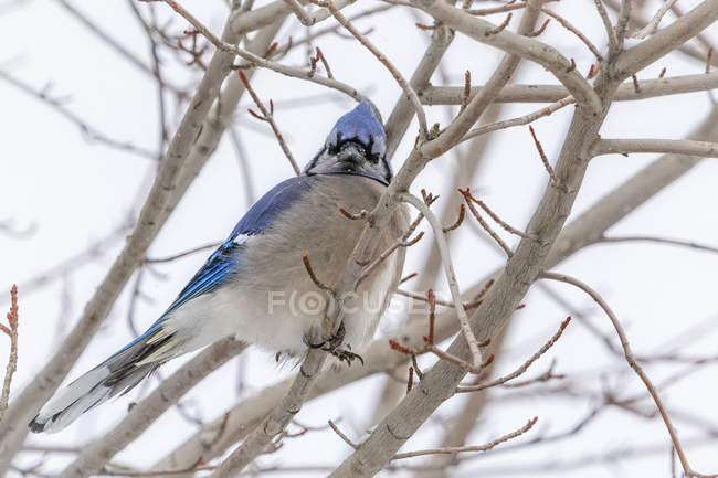 Blue jay in boom — Photo de stock