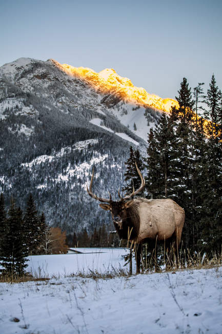 Red deer in snowy valley — Stock Photo