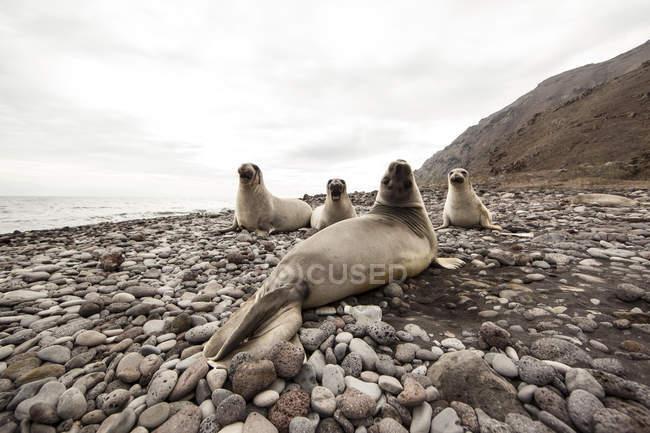 Elefantes marinos en la playa rocosa - foto de stock