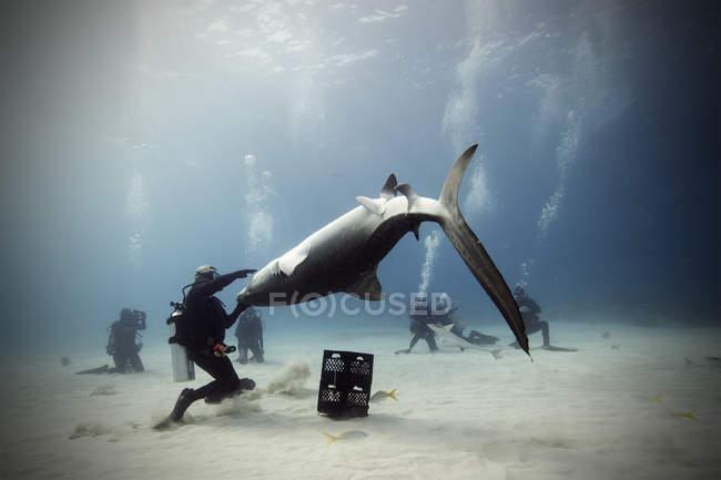Водолазы и тигровая акула под водой — стоковое фото