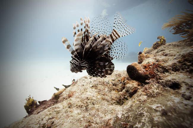 Lion Poisson nageant en mer — Photo de stock