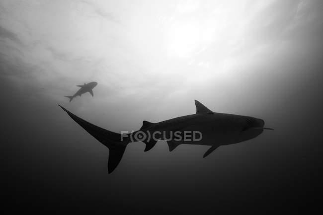 Requin-tigre silhouetté et du soleil — Photo de stock