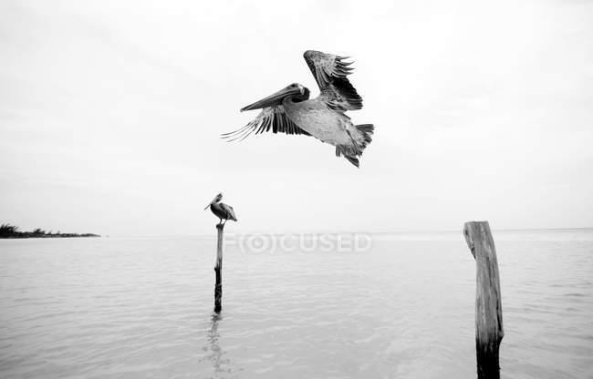 Pelican flying past wooden mooring post — Stock Photo