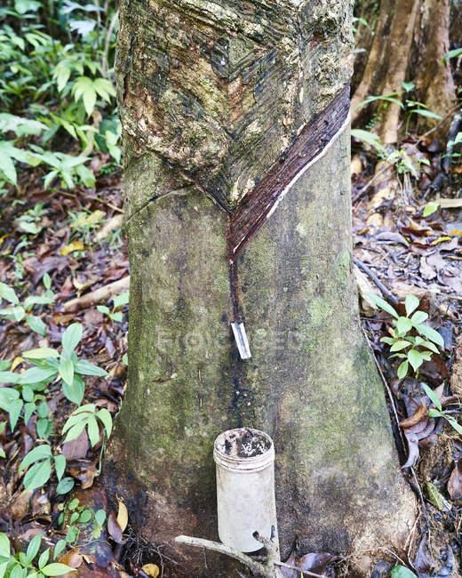 Постукивание по резиновому дереву — стоковое фото
