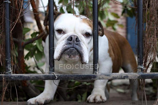 Бульдог смотрит через забор — стоковое фото