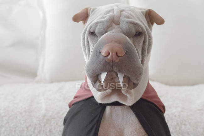 Chien de shar pei — Photo de stock