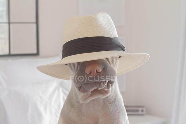 Shar-pei dog wearing hat — Stock Photo