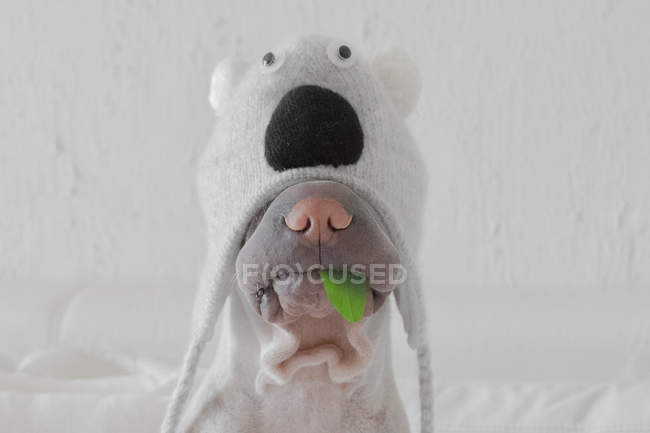 Chien Shar pei costume koala — Photo de stock
